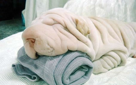 Cute Puppies Dogs on Dog Or A Towel  Don T Miss This Great Laughable Illusion Photograph