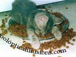 Cat is passed out in his own cat food!