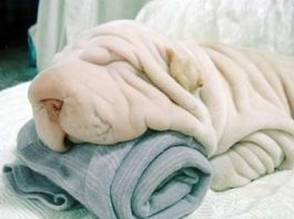 Cute Dog or Towel?
